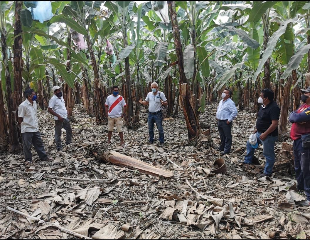 Gobierno Regional brinda apoyo fitosanitario y asistencia técnica a los bananeros
