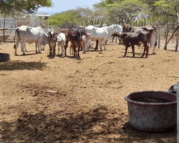 Nacen 31 crías de ganado vacuno del Procompite que promueve el Gobierno regional
